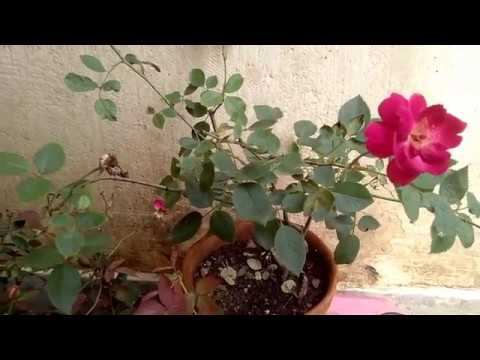 How To Grow And Care Desi Rose In Hindi And Urdu