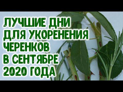 Лучшие дни для нарезки черенков и укоренения черенков в сентябре 2020 года Агрогороскоп, агропрогноз
