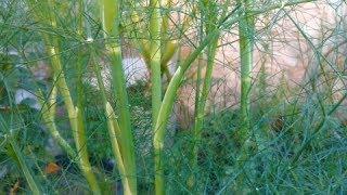 Como retirá um ramo da erva doce corretamente