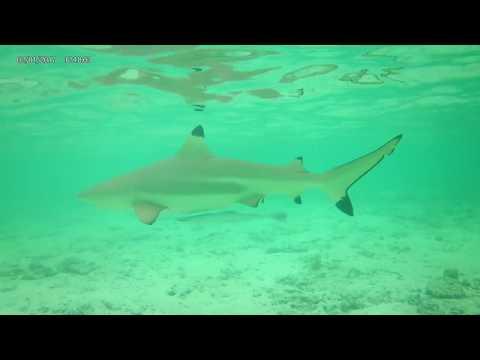 Bora Bora Stingray/Shark encounter. Snorkel coral garden