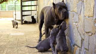 offpring of the best canecorso x-man