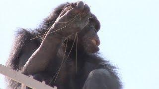 東山動植物園(名古屋市千種区)のチンパンジーたちが落ち着かない。新...