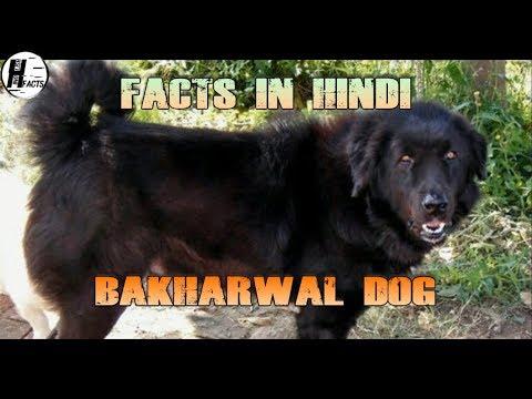 Bakharwal Dog Facts | Hindi | INDIAN DOG BREEDS | HINGLISH FACTS