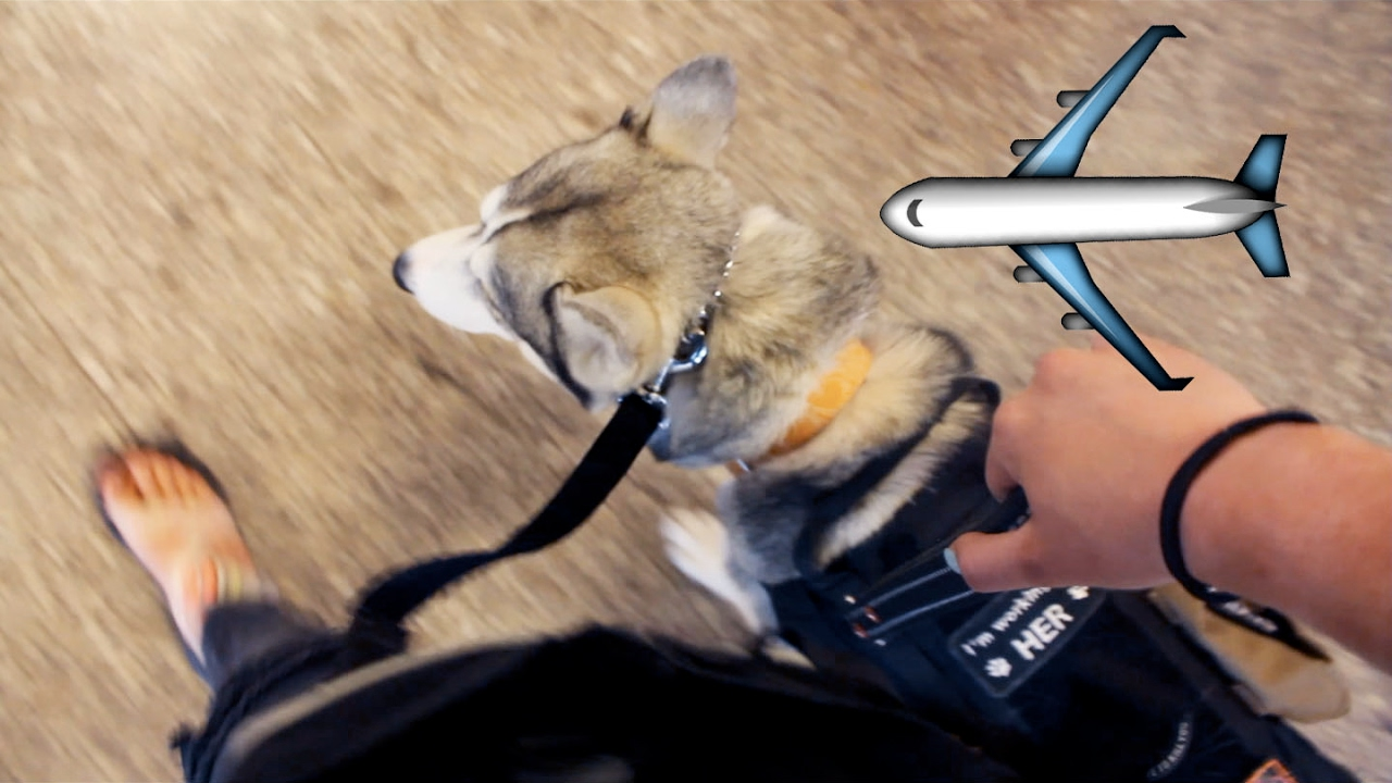 Husky on a plane flying with a service dog youtube for Small dogs on airplanes