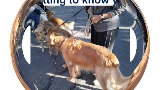 A Great Day For Grreat Golden Retriever Dogs,  10-25-2014