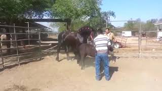 Big Stallion Small Mare (education)