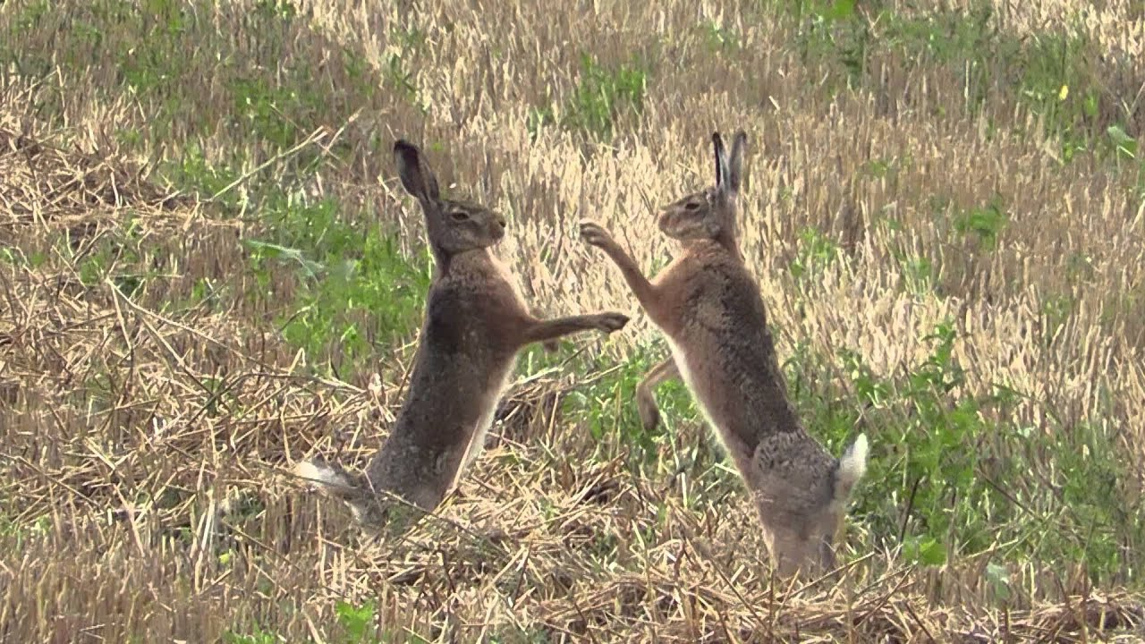 cute and beautiful rabbits mating  YouTube