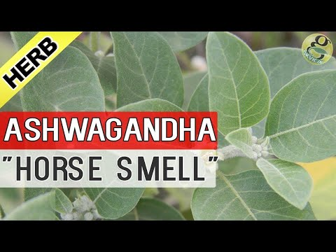 ASHWAGANDHA PLANT care and Health Benefits | Uses of AshwaGandha in Ayurvedic Medicine