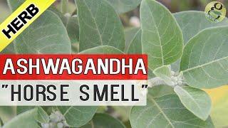 ASHWAGANDHA PLANT care and Health Benefits | Uses of AshwaGandha in Ayurvedic Medicine