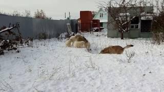 волчицы и щенки самоеда