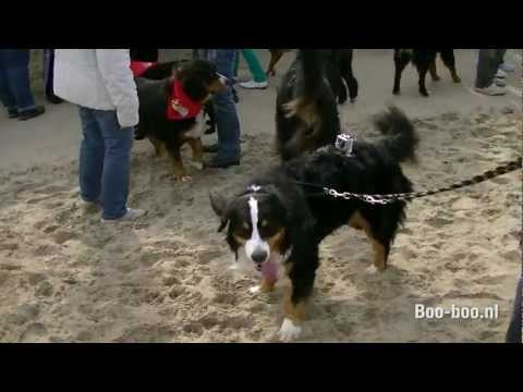 Bernese Mountain Dog Beach meeting Noordwijk aan zee (JVC)