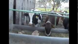 Dairy Farm Bisharat Chattah