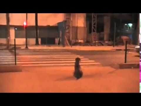 Dog waits for the green light to crosswalk