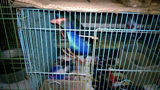 Burung Mandar Biru Mandar Besar