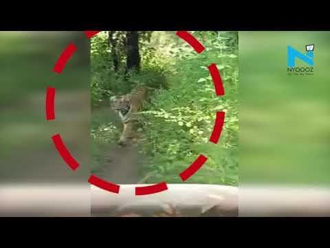 Viral Video: Tiger chases tourist vehicle inside Tadoba Andheri Tiger Reserve