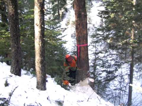 Falling with Stihl MS660, silviculture work, NW Alberta Canada
