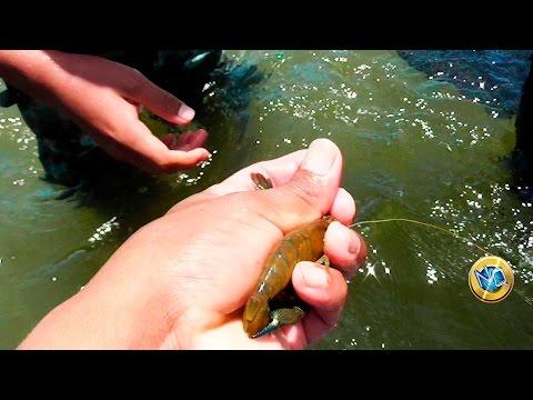 Cómo sacar camarones de agua dulce  | Shrimp fishing with net