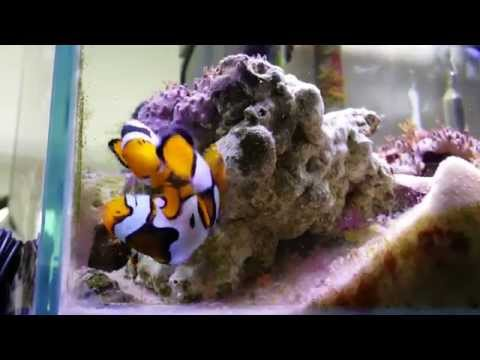 My Mated Picasso Clown Fish Pair Are Laying Eggs In This Video!