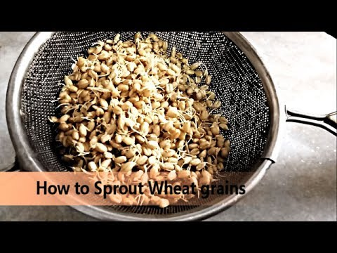 How To Make Wheat Sprout - Samnak