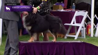 Finnish Lapphunds | Breed Judging 2021