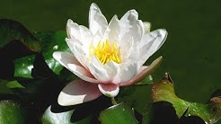 Zen Garden - Lotus Blossoms - Relaxation, Meditation, Mindfulness