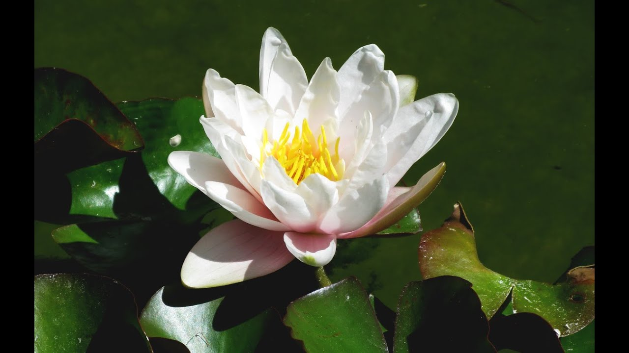 zen garden  lotus blossoms  relaxation, meditation, mindfulness, Beautiful flower