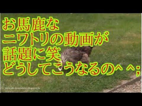 お馬鹿なニワトリの動画が話題に笑 どうしてこうなるの^ ^;