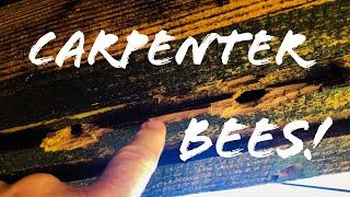 CARPENTER BEES!