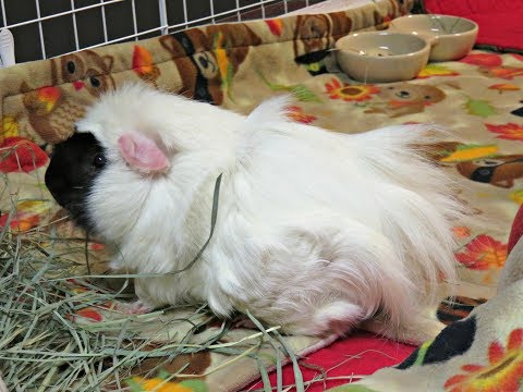 Quick Tip: Guinea Pig Spot Cleaning