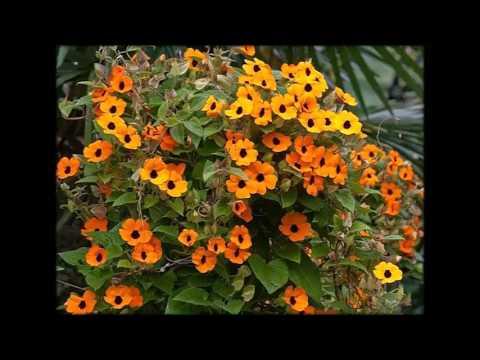 Растения Лианы Фото И Название