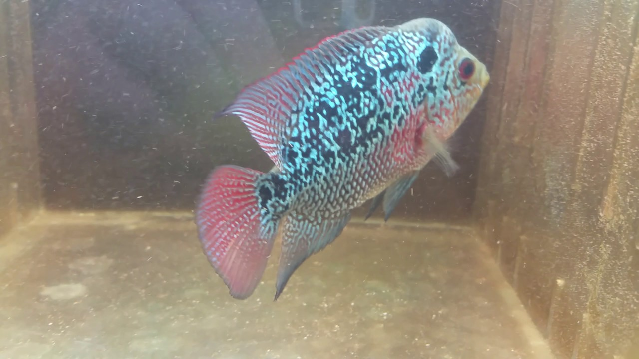 R2xbreed     our hybrid creations   Sin City hybrids and flowerhorn  breeders