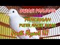 Suara Puter Lokal Mantap Mengatasi Burung Puter Males Bunyi Pancingan Suara Puter Durasi Panjang  Mp3 - Mp4 Download