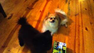 Bama And Ben The Pomeranians Howling When We Call Our Other Dogs Names