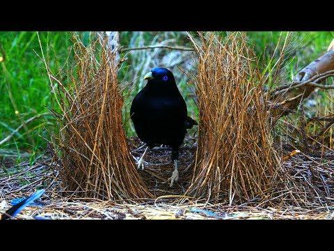Satin Bowerbird courtship behavior (4K)