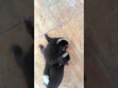 Si imut yang menggemaskan (Musang Biul) - YouTube