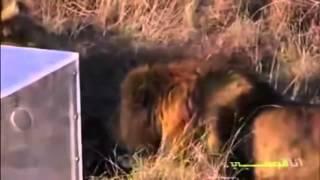 humanos en caja de cristal observan 5 leones hambrientos