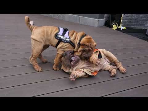 12 weeks old sharpei puppies playing