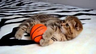 Шотландский вислоухий котенок девочка, окрас  b22 шоколадный мрамор