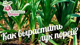 видео Свежий порей с осени до весны