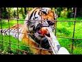 DJI Osmo Pocket: Big Cat Feeding