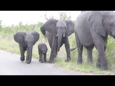 Baby Elephant struggling with this long thing on his face... Cuteness overload!!
