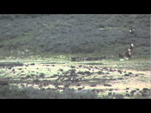 Elk Chasing A Wolf in Yellowstone