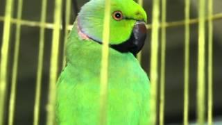 Ожереловый попугай: учимся говорить. Все О Домашних Животных: