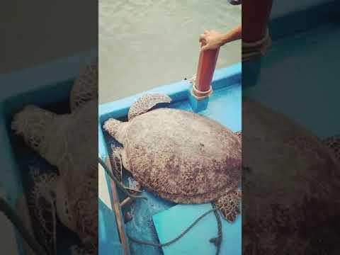 Thả rùa quý hiếm nặng 120 kg về với biển Đề Gi