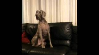 Weimaraner Howling Dog