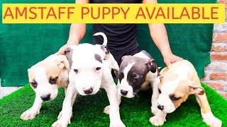 #Royalstaffkennel# Amstaff puppy available # my home breeding#