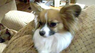 My 4 dogs: Papillon bossing the LARGE dogs around