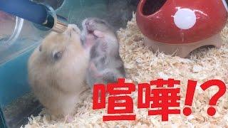 ハムスター☆かわいい子ハムの兄弟喧嘩!?(ジャンガリアンおもしろ動画...