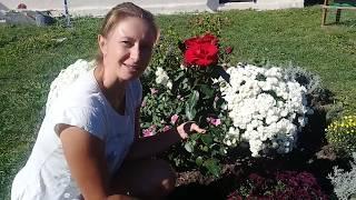 Розы, хризантемы, сажаем, покупаем. Цветочный рынок в апшеронске