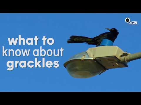 Facts About Great-Tailed Grackles